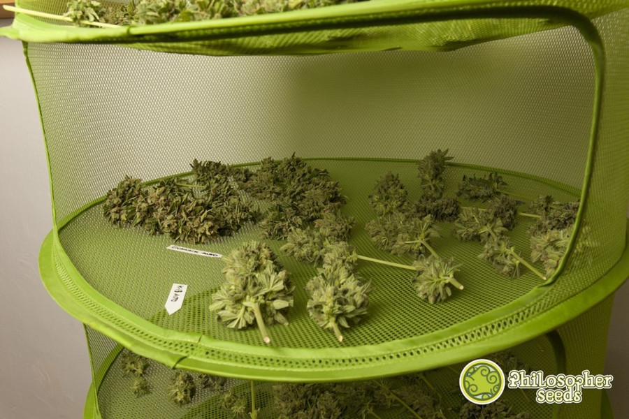 drying and curing cannabis buds cannasos. Black Bedroom Furniture Sets. Home Design Ideas